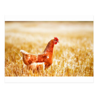 Proud Brown Rooster Struts Postcard
