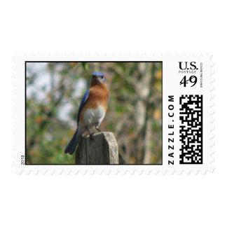 Proud Eastern Bluebird Postage Stamp