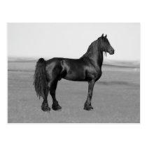 Proud Friesian black stallion horse Postcard