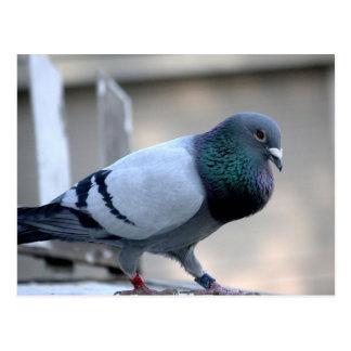 Proud Homing Pigeon Postcard