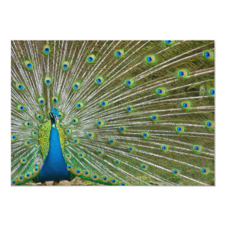 Proud Peacock Feathers Card