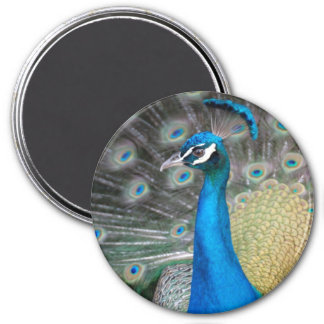 Proud Peacock Refrigerator Magnets