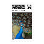 proud peacock postage
