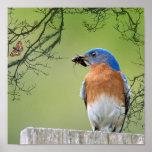 Proveedor del Bluebird Póster