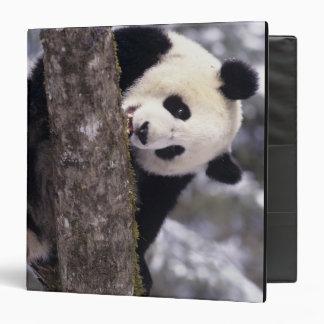 "Provincia de Asia, China, Sichuan. Panda gigante a Carpeta 1 1/2"""