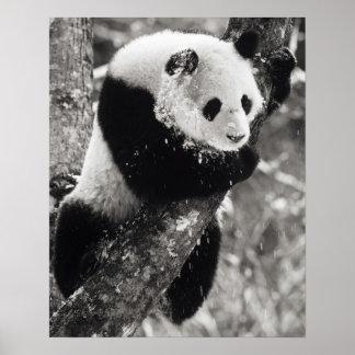 Provincia de Asia, China, Sichuan. Panda gigante a Poster