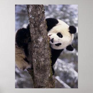 Provincia de Asia, China, Sichuan. Panda gigante a Impresiones