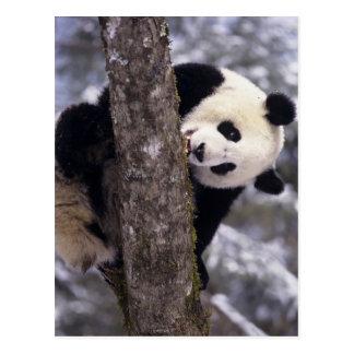 Provincia de Asia, China, Sichuan. Panda gigante a Postal