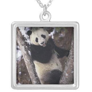 Provincia de Asia, China, Sichuan. Panda gigante Collar Plateado