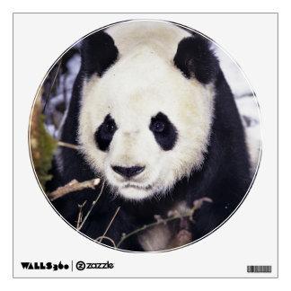 Provincia de Asia, China, Sichuan. Panda gigante e