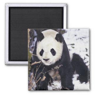 Provincia de Asia, China, Sichuan. Panda gigante e Imán Cuadrado