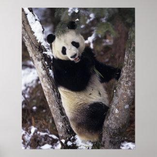 Provincia de Asia, China, Sichuan. Panda gigante e Poster