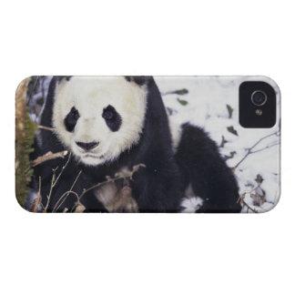Provincia de Asia, China, Sichuan. Panda gigante iPhone 4 Cárcasa