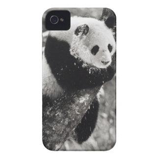 Provincia de Asia, China, Sichuan. Panda gigante iPhone 4 Case-Mate Protectores