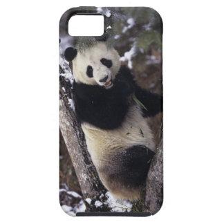 Provincia de Asia, China, Sichuan. Panda gigante iPhone 5 Carcasas