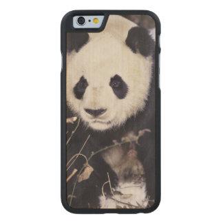 Provincia de Asia, China, Sichuan. Panda gigante Funda De iPhone 6 Carved® Slim De Arce