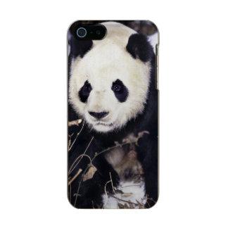 Provincia de Asia, China, Sichuan. Panda gigante Carcasa De Iphone 5 Incipio Feather Shine