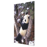 Provincia de Asia, China, Sichuan. Panda gigante p Lona Envuelta Para Galerias