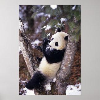 Provincia de Asia, China, Sichuan. Panda gigante p Posters