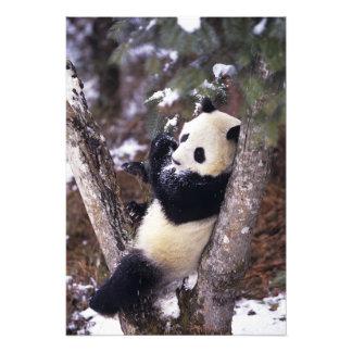 Provincia de Asia, China, Sichuan. Panda gigante p Fotografia