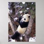Provincia de Asia, China, Sichuan. Panda gigante p Póster