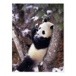 Provincia de Asia, China, Sichuan. Panda gigante p Tarjeta Postal