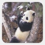 Provincia de Asia, China, Sichuan. Panda gigante Pegatina Cuadrada