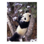 Provincia de Asia, China, Sichuan. Panda gigante Postal