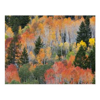 Provo River and aspen trees 11 Postcard
