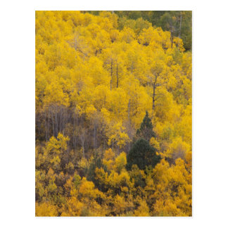 Provo River and aspen trees 12 Postcard