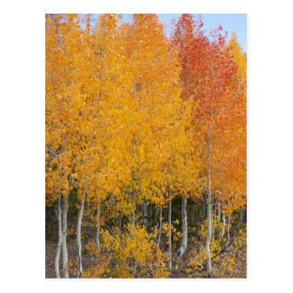 Provo River and aspen trees 13 Postcard