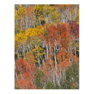 Provo River and aspen trees 15 Postcard