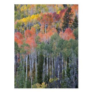 Provo River and aspen trees 16 Postcard