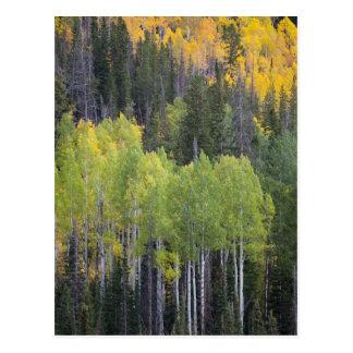 Provo River and aspen trees 2 Postcard