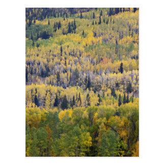Provo River and aspen trees 3 Postcard