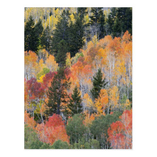 Provo River and aspen trees 4 Postcard