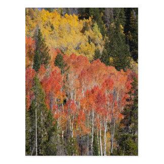 Provo River and aspen trees 6 Postcard