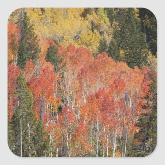 Provo River and aspen trees 6 Square Sticker