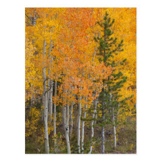Provo River and aspen trees 7 Post Cards