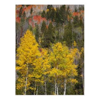 Provo River and aspen trees 9 Postcard