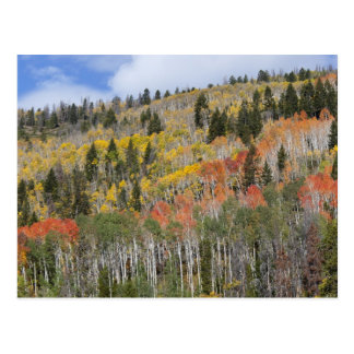 Provo River and aspen trees Postcard
