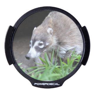 Prowling Coati LED Car Decal