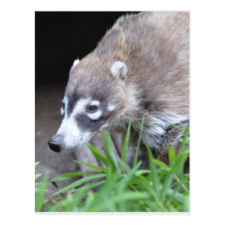 Prowling Coati Postcard