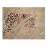 Prowling Leopard Hiding in Grassland Postcard