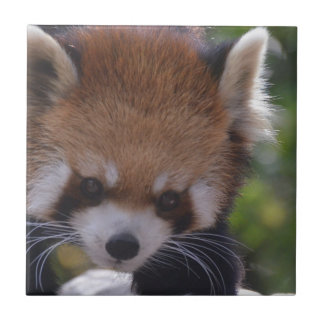 Prowling Red Panda Tile