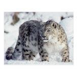 Prowling Snow Leopard Postcard
