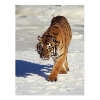 Prowling Tiger Postcard