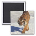 Prowling Tiger Refrigerator Magnet