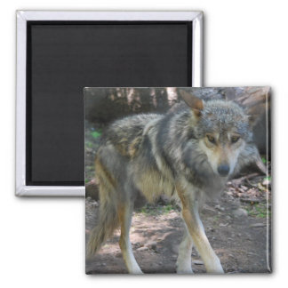 Prowling Wolf Magnet Fridge Magnets