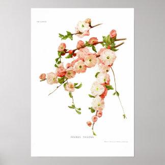 Prunus triloba (flowering almond) poster